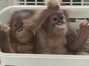Orangutans rescued in Thailand