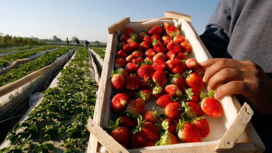 Fruit-picking is among jobs ministers fear will not be filled if low-skilled workers are stopped