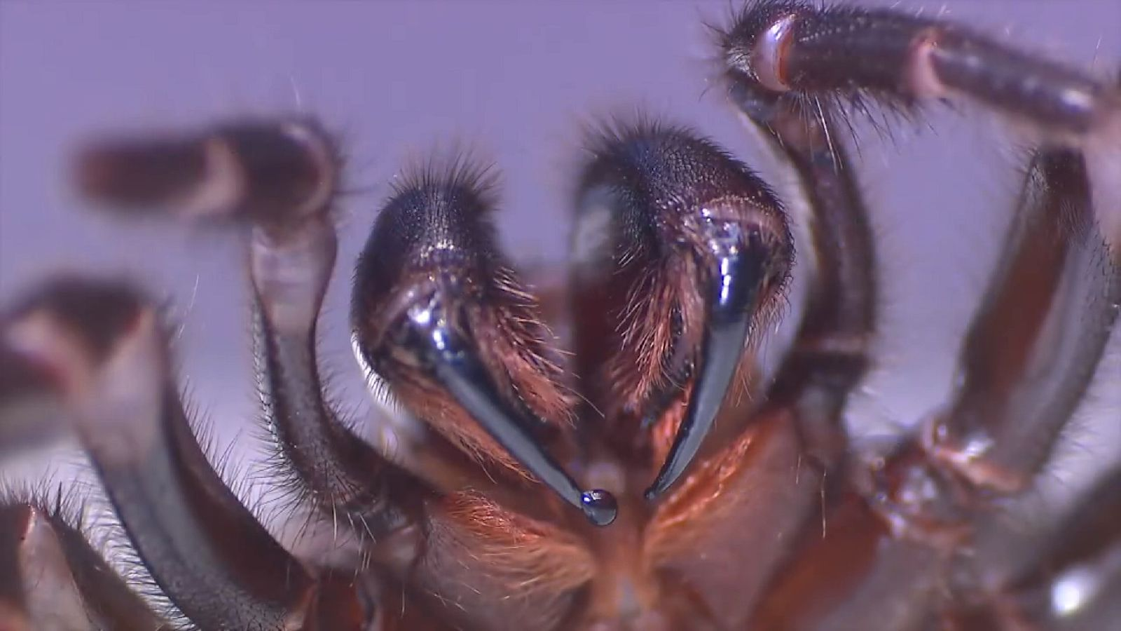 The funnel-web spider's venom can be fatal if left untreated