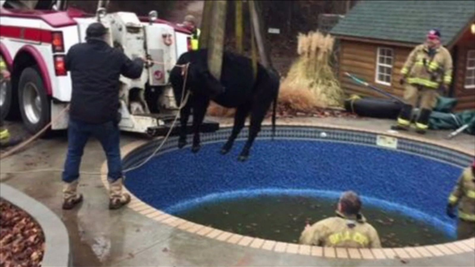 Cow lifted to safety from a domestic pool in Oklahoma City