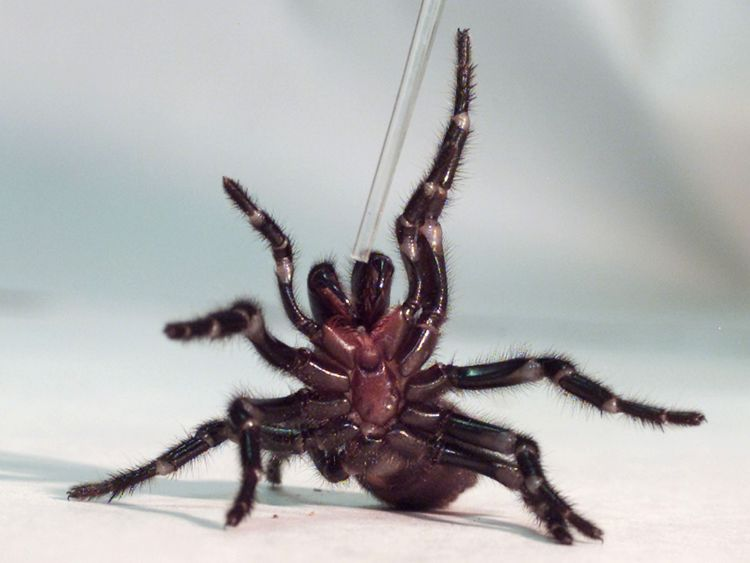 A Sydney funnel-web spider rears up on its hind legs as a tube used to extract venom