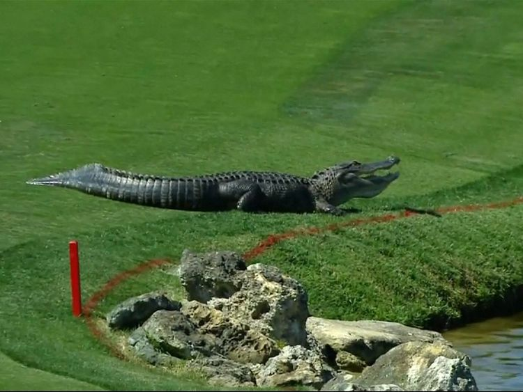 The alligator returned for a second day on Friday