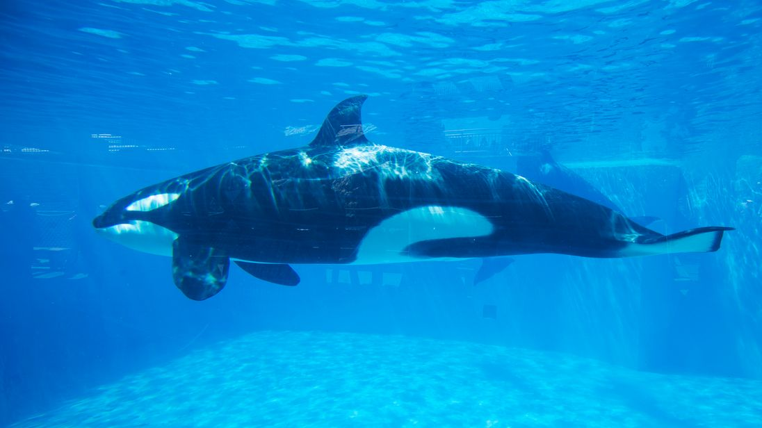 An Orca killer whale is seen underwater at the animal theme park SeaWorld in San Diego, California