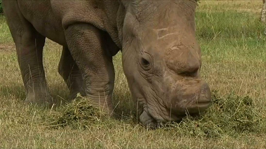 The last surviving northern white rhino, called Sudan
