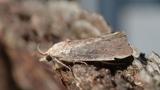 A greater wax moth. Pic: Andy Reago & Chrissy McClarren/Wikimedia Commons