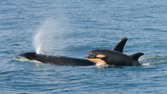 A female killer whale and her newborn calf are seen February 26, 2015 in this handout photo provided by NOAA