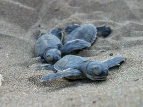 Baby green turtles in Greece are under threat from plastic waste