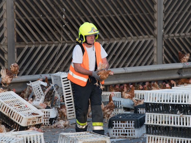 Firemen removing the chickens from the carriageway near Linz