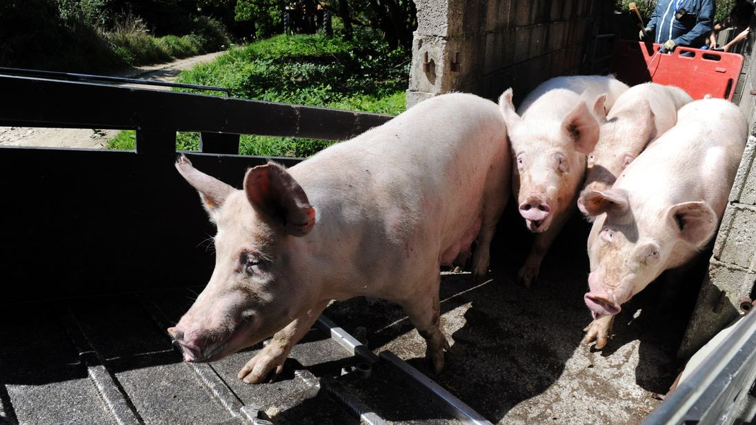 Around ten million pigs are thought to be killed for food in the UK each year