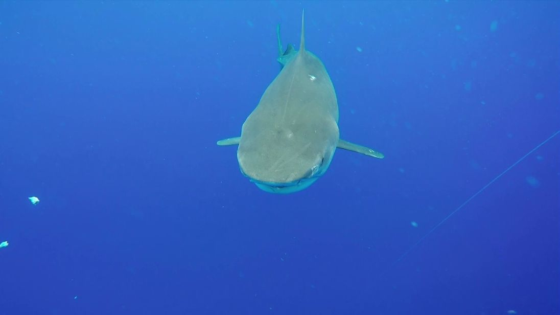 Even an apex predator like the Tiger Shark is threatened by pollution