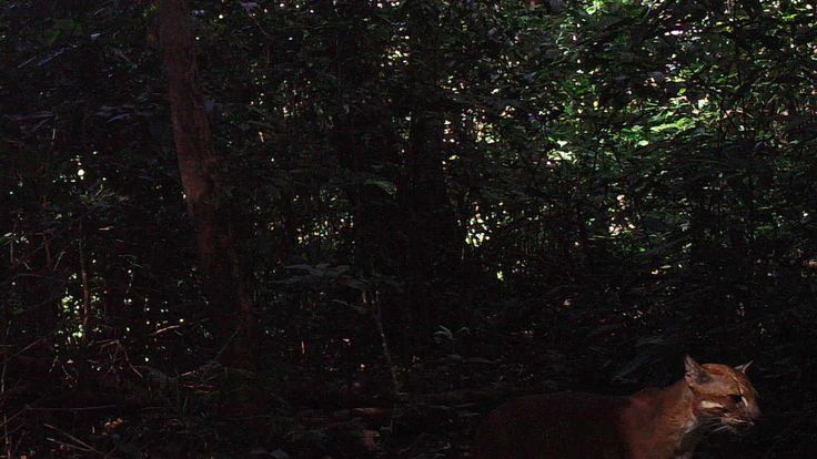 An Asian golden cat in the hill forests of Northern Karen State