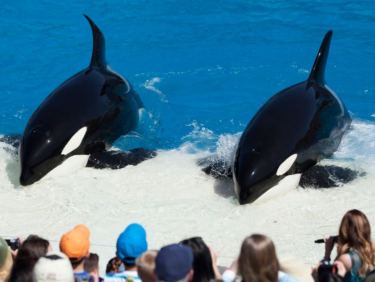 "Trainers have Orca killer whales perform for the crowd during a show at the animal theme park SeaWorld in San Diego, California March 19, 2014. A California lawmaker introduced a bill to ban live performances and captive breeding of killer whales in the state, a measure that would force the SeaWorld San Diego marine theme park to end is popular ""Shamu"" shows."