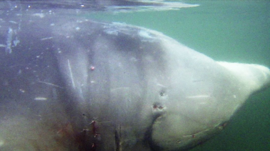 This Cuvier's beaked whale had to be euthanized after eating 30 plastic bags.