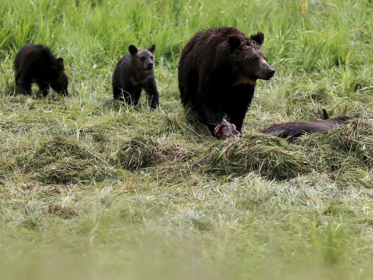 A mother grizzly bear and her cubs in Yellowstone National Park