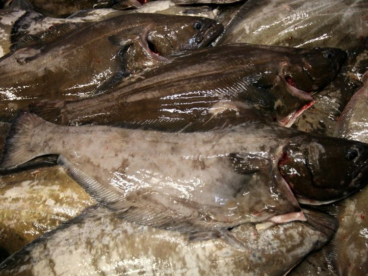 Fishermen say their lines are being stripped of thousands of pounds of halibut