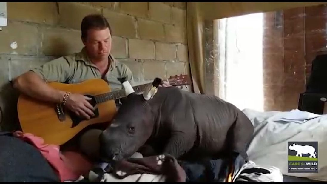 Rhino drops off to sleep while carer plays guitar
