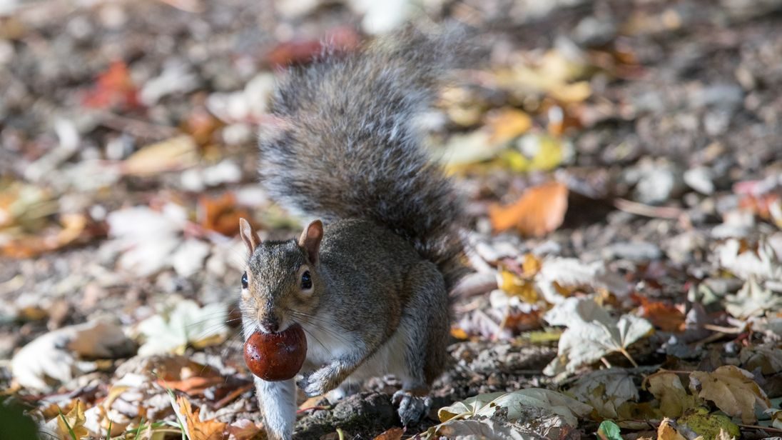 A squirrel picks up a conker beneath trees in London