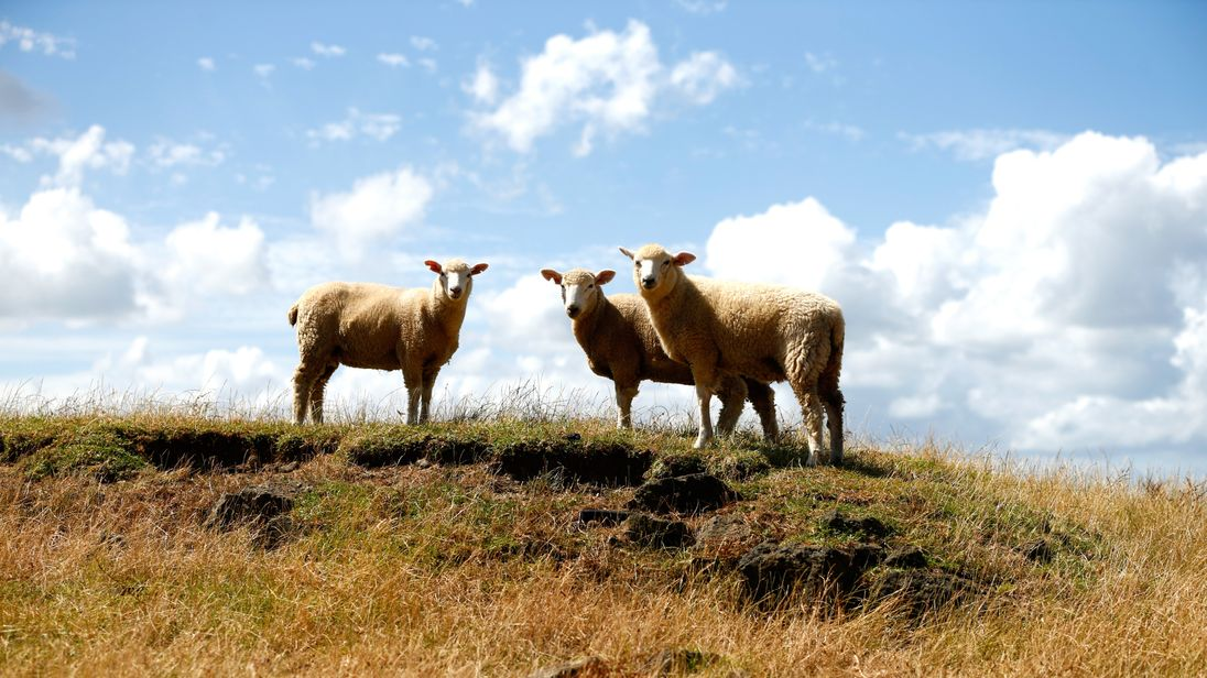 AUCKLAND, NEW ZEALAND - JANUARY 20:  Sheep are pictured in the dry conditions at Ambury Farm on January 20, 2015 in Auckland, New Zealand. Soil-moisture le