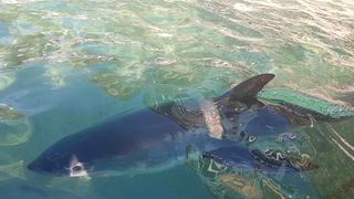 The shark was put in a sea water pool before being taken to a sea life centre for assessment