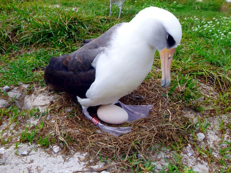 Wisdom, a Laysan albatross, at least 66 years old and the world's oldest known breeding wild bird incubates her egg in Midway Atoll National Wildlife Refuge and Battle of Midway National Memorial, Hawaii, U.S. on December 3, 2016