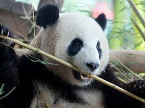 Meng Meng, a female Chinese panda bear, at Berlin Zoo