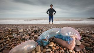 Jelly fish that have been washed up on Sidmouth beach by yesterday..s ex-hurricane Ophelia in Sidmouth in Devon