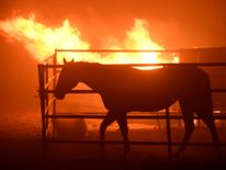 A horse which was left behind after an early-morning Creek Fire that broke out in the Kagel Canyon area