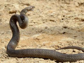 The eastern brown snake is the deadliest in Australia