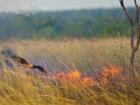 A hawk searching for prey over a bushfire. Pic: Robert Gosford