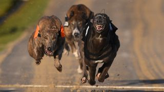 Dogs race at the Coral Brighton and Hove Greyhound Stadium