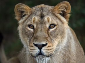 The woman was mauled by a lioness. File pic