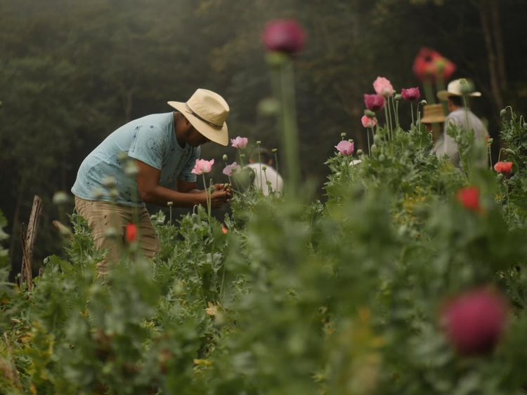 Farmers say they have to grow opium poppies to feed their families