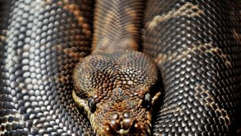 Vets in Australia removed a slipper that had been swallowed by a Coastal carpet python. The snake was put under general anaesthetic and was said to be recovering well after the operation.