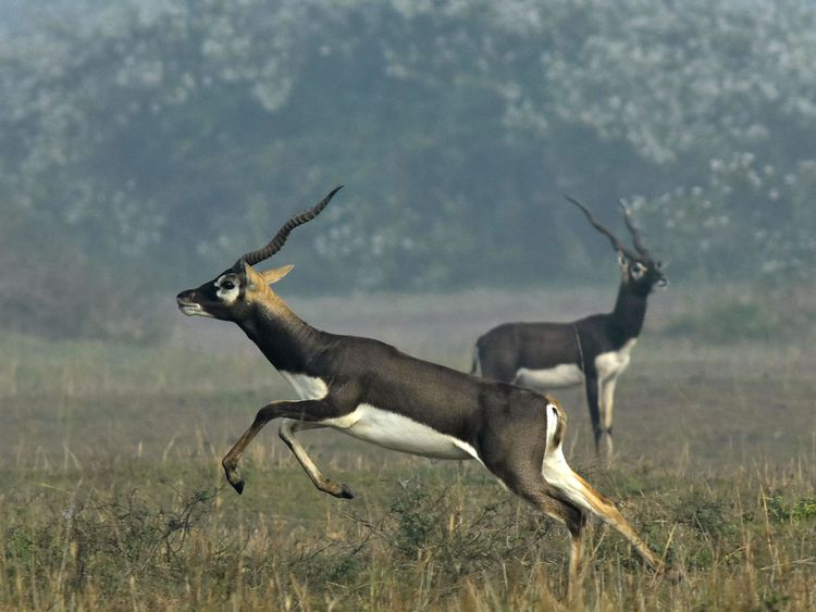 Indian blackbucks, also known as Indian antelopes. File pic