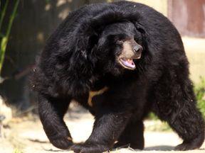 A black bear. File pic