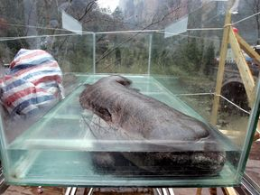 A Chinese giant salamander, the largest in the world