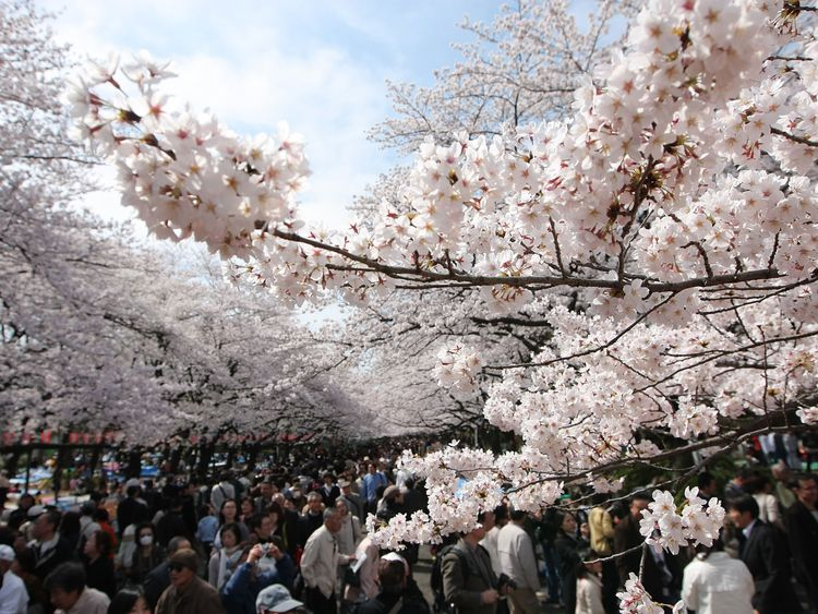 TOKYO - MARCH 29:  Cherry blossoms are seen in full bloom at Tokyo's Ueno park on March 29, 200..W in Tokyo, Japan. The bloom of the cherry blossoms are 7 days earlier than the average year in Tokyo.  (Photo by Koichi Kamoshida/Getty Images)