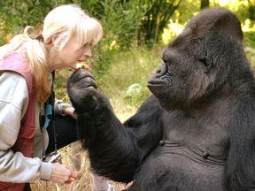 Koko. Pic: The Gorilla Foundation