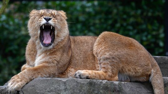 An Asian lion at the Planckendael Zoo in Mechelen, Belgium. File pic