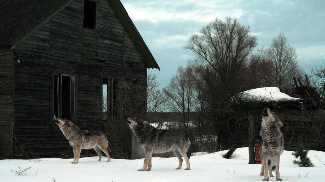 Howling wolves in abandoned village (Chernobyl)