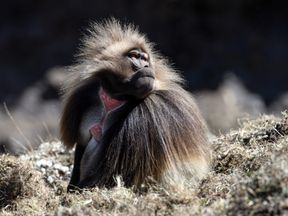 KOMBOLCHA, ETHIOPIA - JANUARY 25: A male Gelada monkey sits on a hillside on January 25, 2017 near Kombolcha, Ethiopia. Guide book publisher Lonely Planet recently ranked Ethiopia among the top ten 2017 world tourist destinations. The country generated 872 million USD from tourism in first quarter of 2017. (Photo by Carl Court/Getty Images)