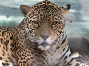 The jaguar escaped and killed six animals