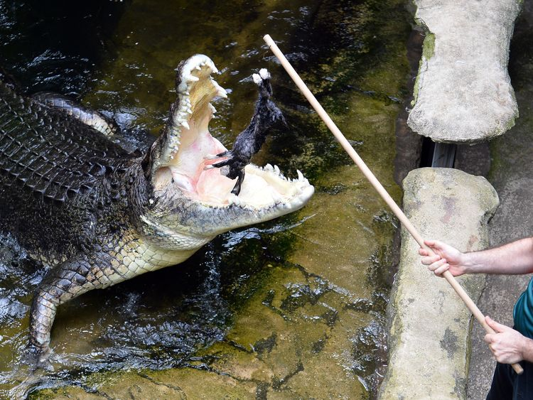 The saltwater crocodile is the largest of all living reptiles