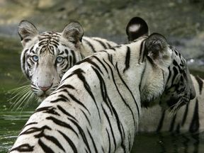 Delhi Zoo has had several white tigers over the years