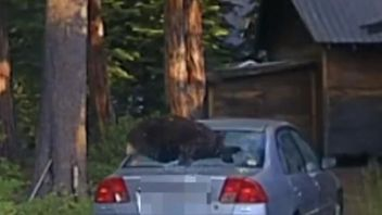 Bear escapes from locked car after sheriff shoots the window out