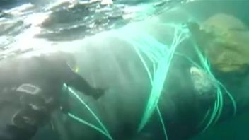 Chilean navy set a whale free after it had become entangled in a fishing net