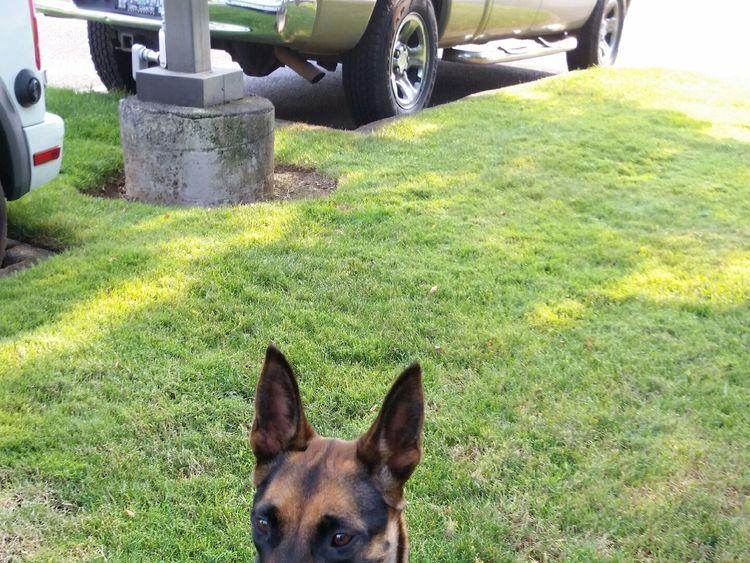 Dog overdoses on heroin  Pic: https://clackamas.us/sheriff/2018-08-08-CCSOPR-K9AbbieNarcan.html