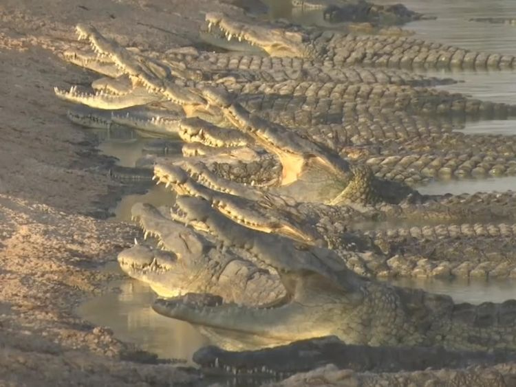 There are hundreds of crocodile in the valley