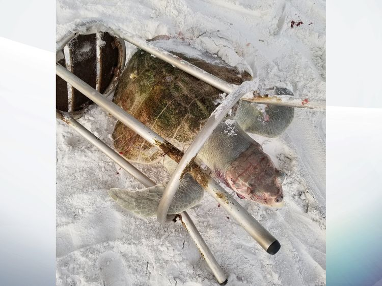 The turtle was found on a beach in Florida, trapped in a barstool