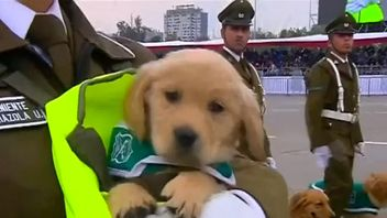 Golden retriever puppies steal show at Chile military parade